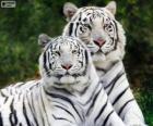 Tigres de Bengala blancos