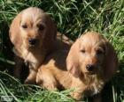 Cachorros de Basset leonado de Bretaña