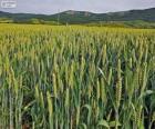 Campo de cereales en primavera