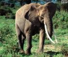 Un elefante con colmillos