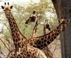 Cuatro jirafas