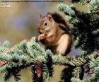 Ardilla roja en un árbol