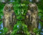 Dos búhos cornudos