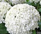 Flores blancas de Hortensia