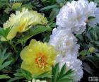 Flores de paeonia