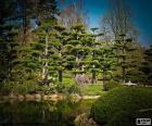 Sugi o cedro japonés