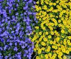 Foto con muchas flores en dos colores azules y amarillas