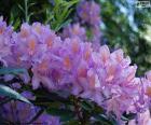 Flores púrpuras de azalea
