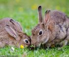 Dos conejos comiendo