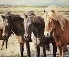 Tres caballos islandeses