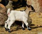 Joven cabra
