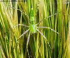 Araña lince verde