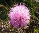 Flor de Mimosa borealis