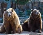 Dos osos pardo