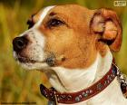 Cabeza de Jack Russell Terrier