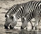 Tres cebras bebiendo