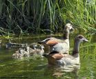 Familia de gansos del Nilo