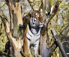 Tigre controlando su territorio