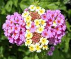 La Lantana camara es una flor nativa de las regiones tropicales y subtropicales de Sudamérica y Centroamérica