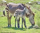 Cebra bebé y su madre