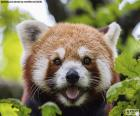Cara de panda rojo