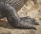 Pata de cocodrilo