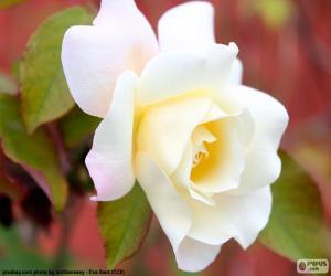 Puzzle de Rosa blanca