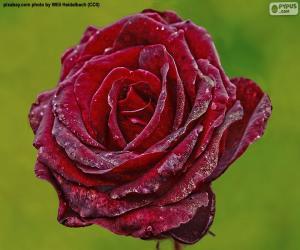 Puzzle de Rosa de color rojo