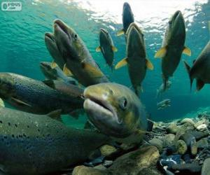 Puzzle de Salmones en el rio