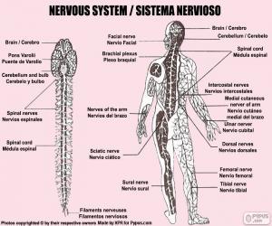 Puzzle de Sistema nervioso