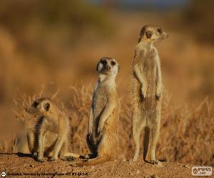 Puzzle de Suricata, o suricato