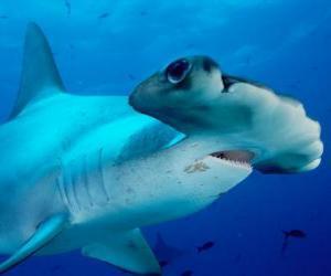 Puzzle de Tiburón martillo gigante o cornuda gigante