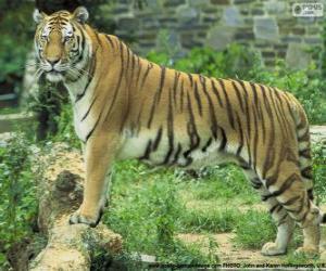Puzzle de Tigre adulto