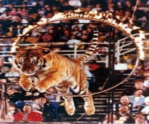 Puzzle de Tigre saltando por el interior de un circulo de fuego