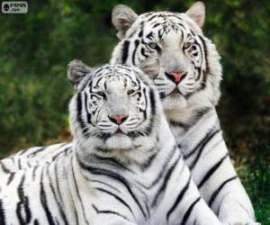 Puzzle de Tigres de Bengala blancos