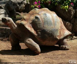 Puzzle de Tortuga espolones africana