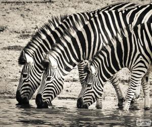 Puzzle de Tres cebras bebiendo