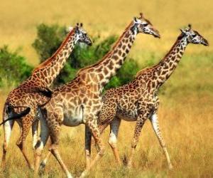 Puzzle de Tres jirafas