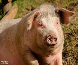 Puzzle de Un cerdo