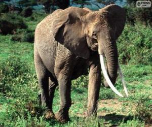 Puzzle de Un elefante con colmillos
