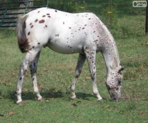 Puzzle de Walkaloosa caballo originario de Estados Unidos