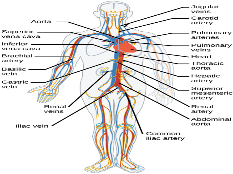 Organize the circulatory system puzzle