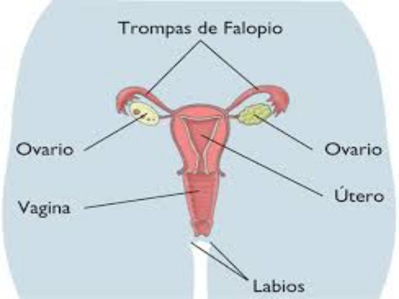 Puzzle de aparato reproductor femenino , rompecabezas de