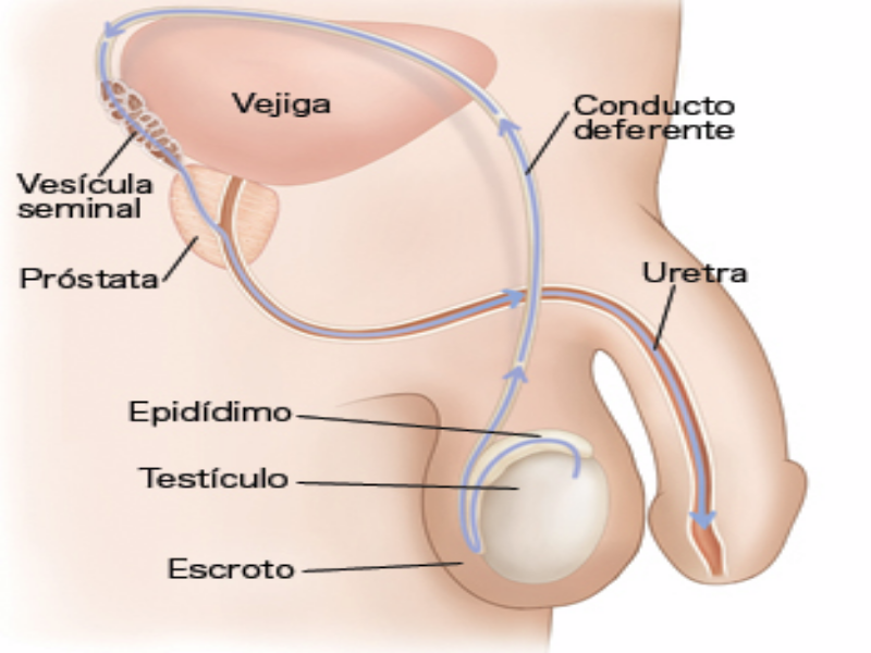 Puzzle de aparato reproductor masculina , rompecabezas de