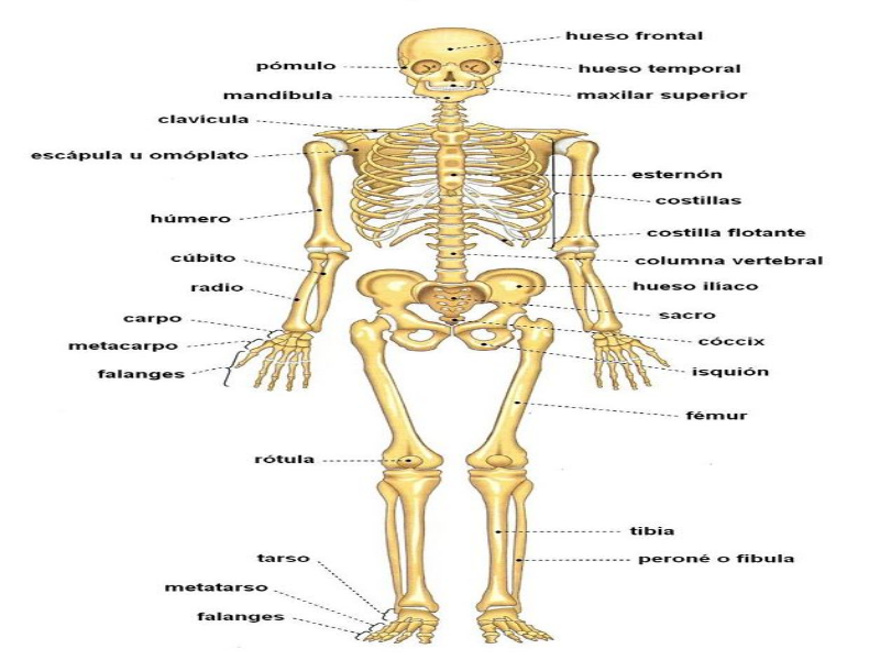 Esqueleto Humano Y Sus Partes