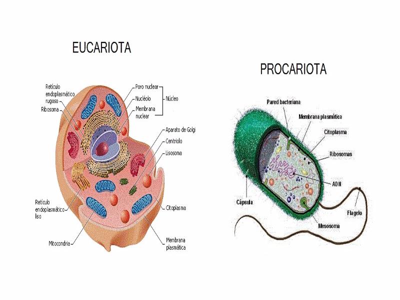 Puzzle de Eucariota - Procariota , rompecabezas de
