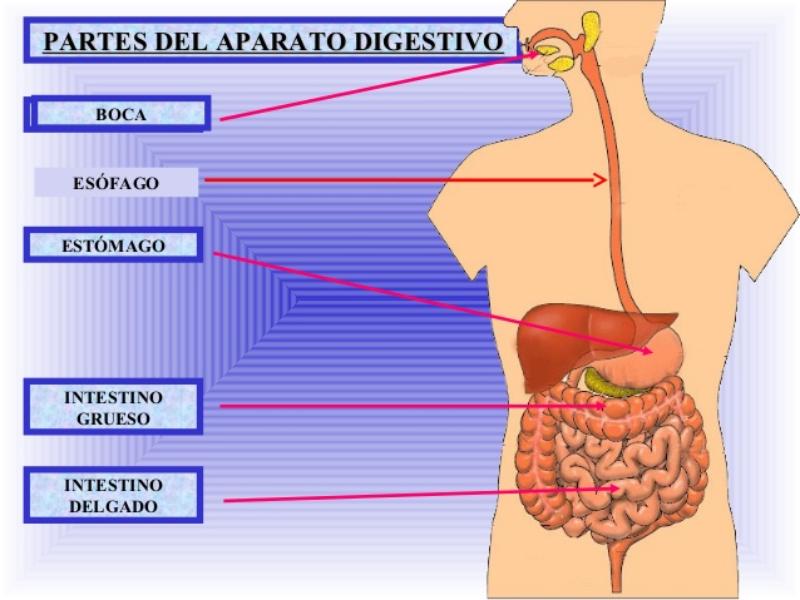Organos Del Cuerpo Humano Para Ninos