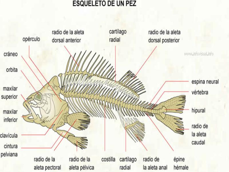Puzzle de sistema oseo de un pez cachama rompecabezas de for Pez cachama
